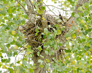 Red-tailed Hawk nest, (nest #2), Mather Regional Park, Sacramento County, CA, 5-20-13.