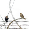 Brown-headed Cowbirds, Mather Regional Park, 5-20-14. Cropped image.