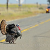 Wild Turkey,  Mather Regional Park, 5-13-14. Cropped image.