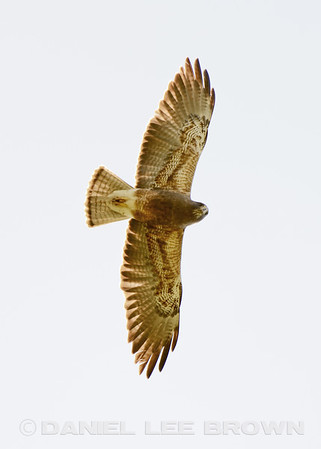 Mather, East for Eagles Nest Rd, Raptor and bird survey, 2014