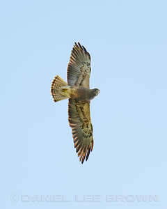 Swainson's Hawk, Mather Regional Park, 5-7-14. Cropped image.