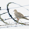 Mourning Dove, Mather Regional Park, 5-20-14. Cropped image.