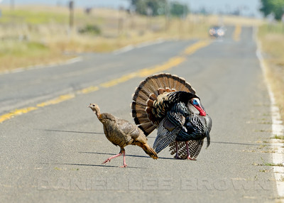 Wild Turkeys,  Mather Regional Park, 5-13-14. Cropped image.