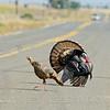 Wild Turkeys,  Mather Regional Park, 5-13-14. Cropped image.