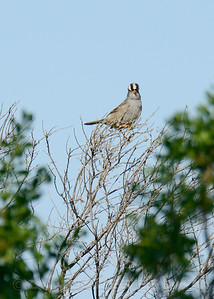 White-crowned Sparrow, Mather Regional Park, 5-7-14. Cropped image.