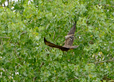 Swainson's Hawk with Western Kingbird harassing it, Mather Regional Park, 5-20-14. Cropped image.