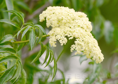 Elderberry blossoms, Mather Regional Park, Sacramento County, CA, 5-20-14.