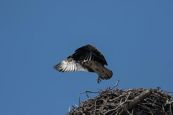 May 12,2016.  Osprey chicks practising flying.