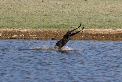 Double Crested Cormoranrt