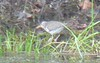 spotted sandpiper<br /> Acushnet Cedar Swamp