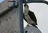 4 osprey--2 on platform<br /> 2 on nest on light at point