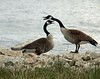 2 sets of Canada geese