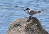 watched common tern<br /> mobbing osprey
