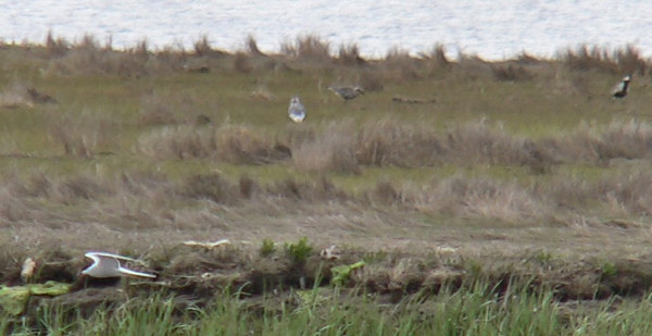 Black-bellied Plovers and Common Tern
