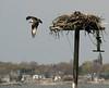 5-4-05   Winsegansett Ospreys  (nest fell down in a fall storm, 1 fledgling killed)