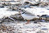 5-5-05  Piping Plover