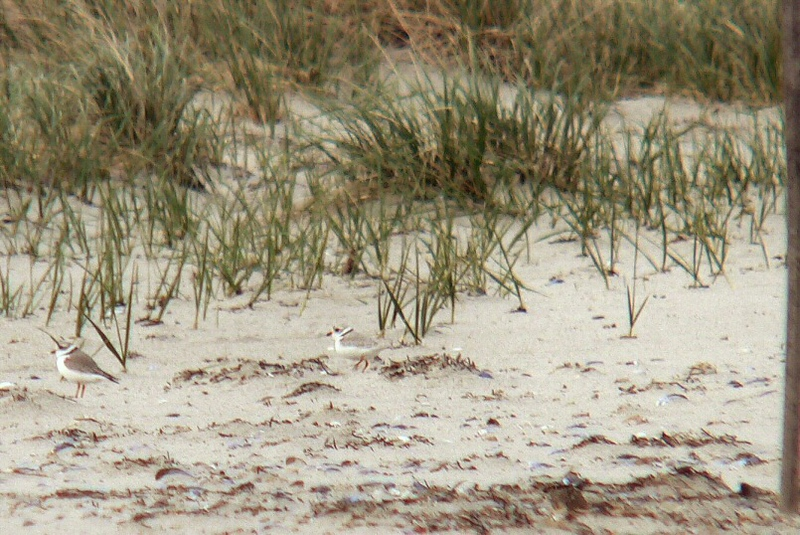 5-4-05  Piping Plovers