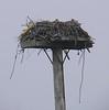 Stony Point - Osprey nest on dike
