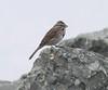 Stony Point - very confiding Song Sparrow