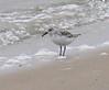 Stony Point - Female Sanderling
