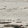 Stony Point - Piping Plovers