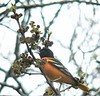 May 8 - Oriole at Mill Road
