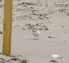 Stony Point - Piping Plover