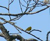 Yellow Warbler at Little Bay