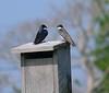 Tree Swallows bonding