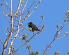 Eastern Kingbird at Long Road