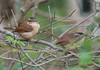 Two of 5 Carolina Wrens cavorting together at Pope Park...siblings???