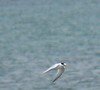 Least Tern at Gooseberry