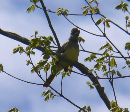 Noisy Great Crested Flycatcher working both sides of Long Road.