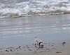 Piping Plover--one of about 8 I saw at Horseneck.  Some battles too.