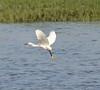Snowy Egret hopping around fishing near the shore