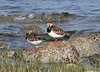 Ruddy Turnstones--female and male