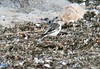 Snow bunting at West Island