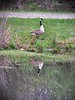 May 6 -- Single Canada Goose in the pond for a couple of weeks