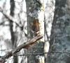May 7 -- Wood Thrush in Nasketucket State Reservation