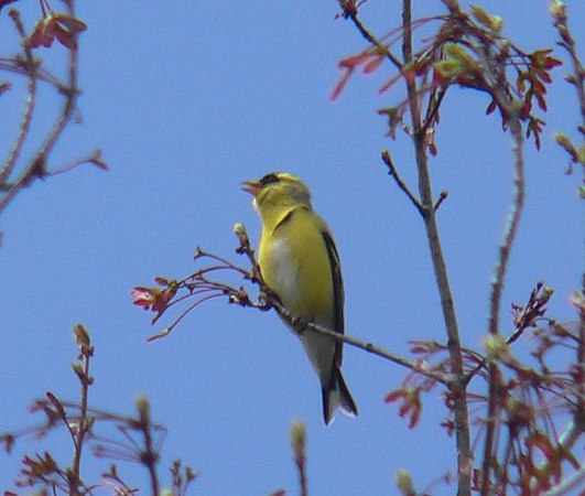 Crazed singing Goldfinch