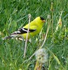 Goldfinch standing on dandelion stems to eat the seeds