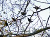 Four male cowbirds courting one female.