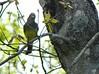 Great-crested Flycatcher near nest-hole