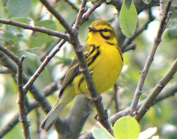 Prairie Warbler on Matt. beach near Y