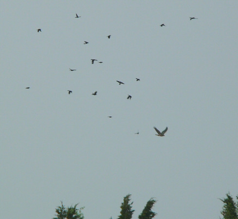 Red-tailed Hawk being chased by a variety of birds including a Flicker
