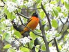 Gorgeous Baltimore Oriole