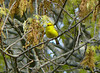 May 15 - Blue-winged Warbler at Long Road