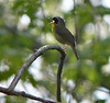 Common Yellowthroat at King Farm