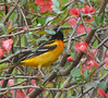 Baltimore Oriole in flowering Quince in yard