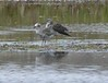 Black-bellied Plover and a Yellowlegs